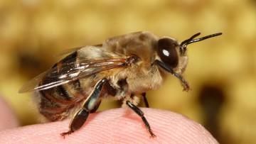 El zángano o abejorro: los drones están hechos a su semejanza.