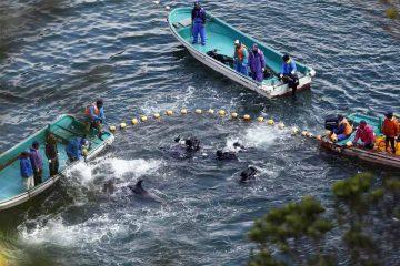 Cacería tradicional de delfines en Taiji, Japón.